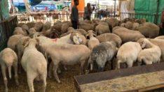 Eskişehir'den büyükşehirlere hayvan satışı