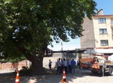 Anıt ve tescilli ağaçlarda rehabilitasyon çalışmaları