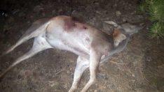 Avlanması yasak olan kızıl geyik kaçak avcılarca vuruldu