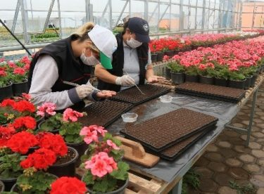 Odunpazarı Belediyesi kendi serasında yılda 300 bin çiçek üretiyor